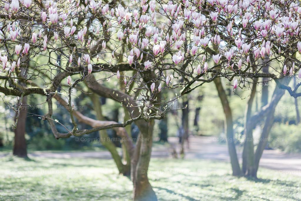 Magnolienbäume   Magnolien blühen in weiß, rosa und magenta während weniger Wochen im Frühjahr mit kraftvoll zarten Blüten.