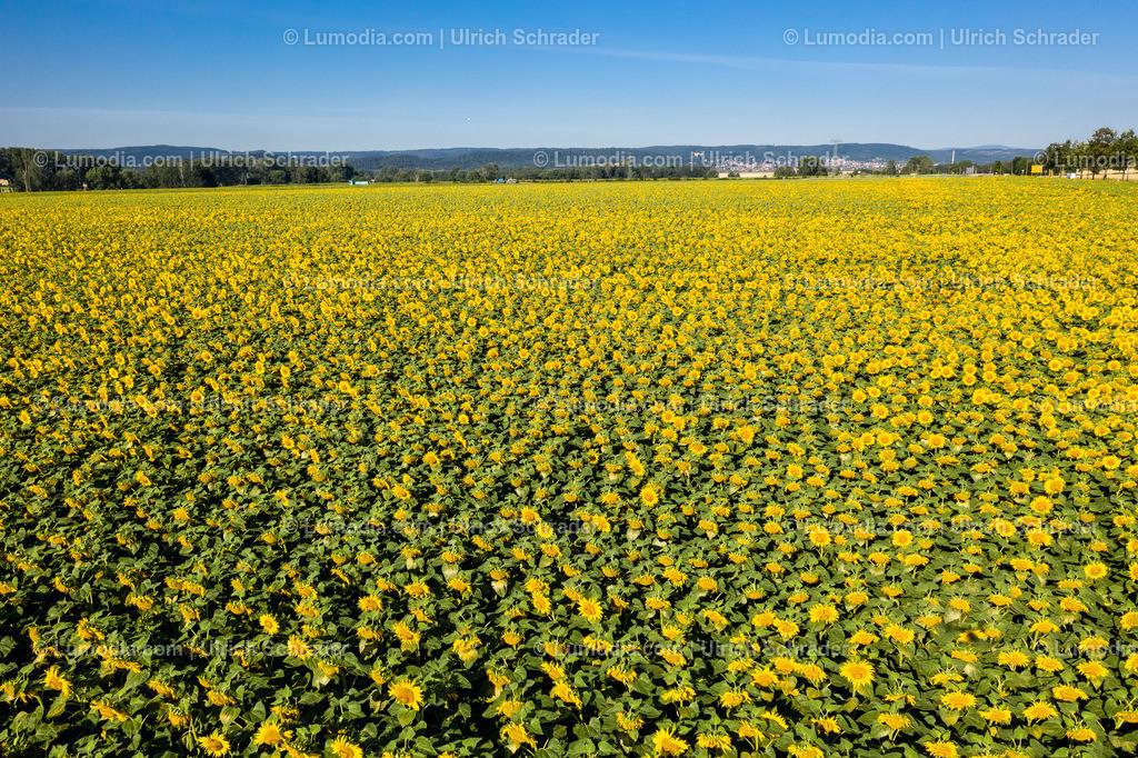 10049-50653 - Sonnenblumen