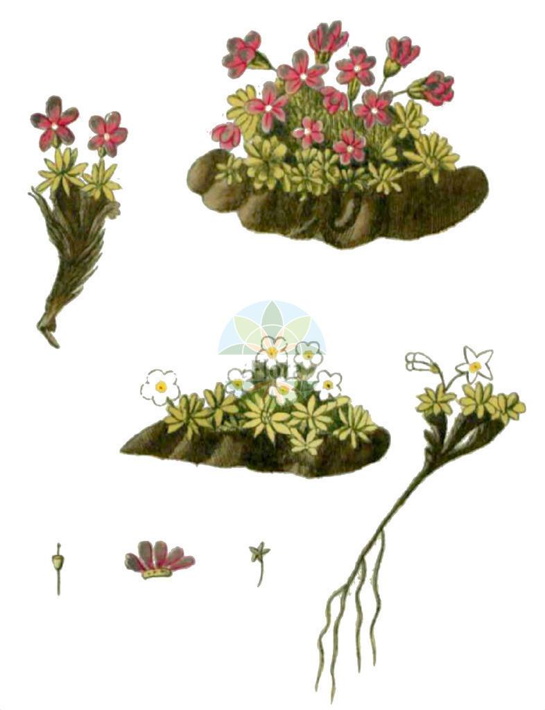 Androsace alpina | Historische Abbildung von Androsace alpina. Das Bild zeigt Blatt, Bluete, Frucht und Same. ---- Historical Drawing of Androsace alpina.The image is showing leaf, flower, fruit and seed.