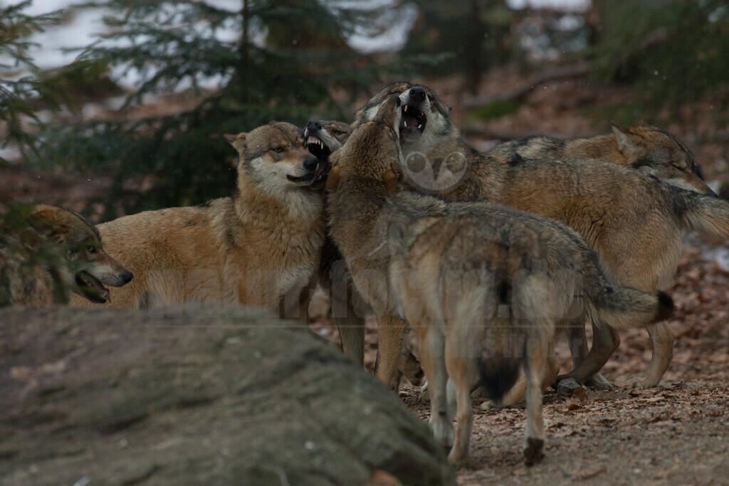 Wolf | Der Wolf ist rezent das größte Raubtier aus der Familie der Hunde. Wölfe leben meist in Familienverbänden, fachsprachlich Rudel genannt. Hauptbeute sind in den meisten Regionen mittelgroße bis große Huftiere.