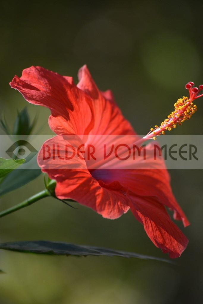 Fotoausstellung Meer Bilder | Hibiskus Blüte in Malaga