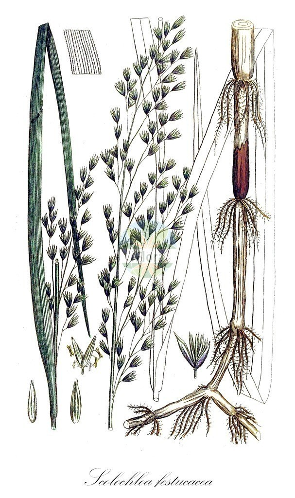 Historical drawing of Scolochloa festucacea (Swamp Grass) | Historical drawing of Scolochloa festucacea (Swamp Grass) showing leaf, flower, fruit, seed