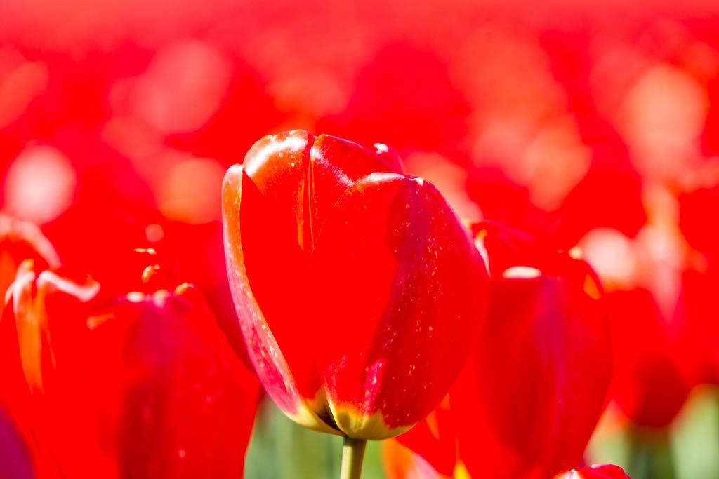 JT-160803-038   Tulpenfelder, Tulpenzucht, viele bunte Tulpen,