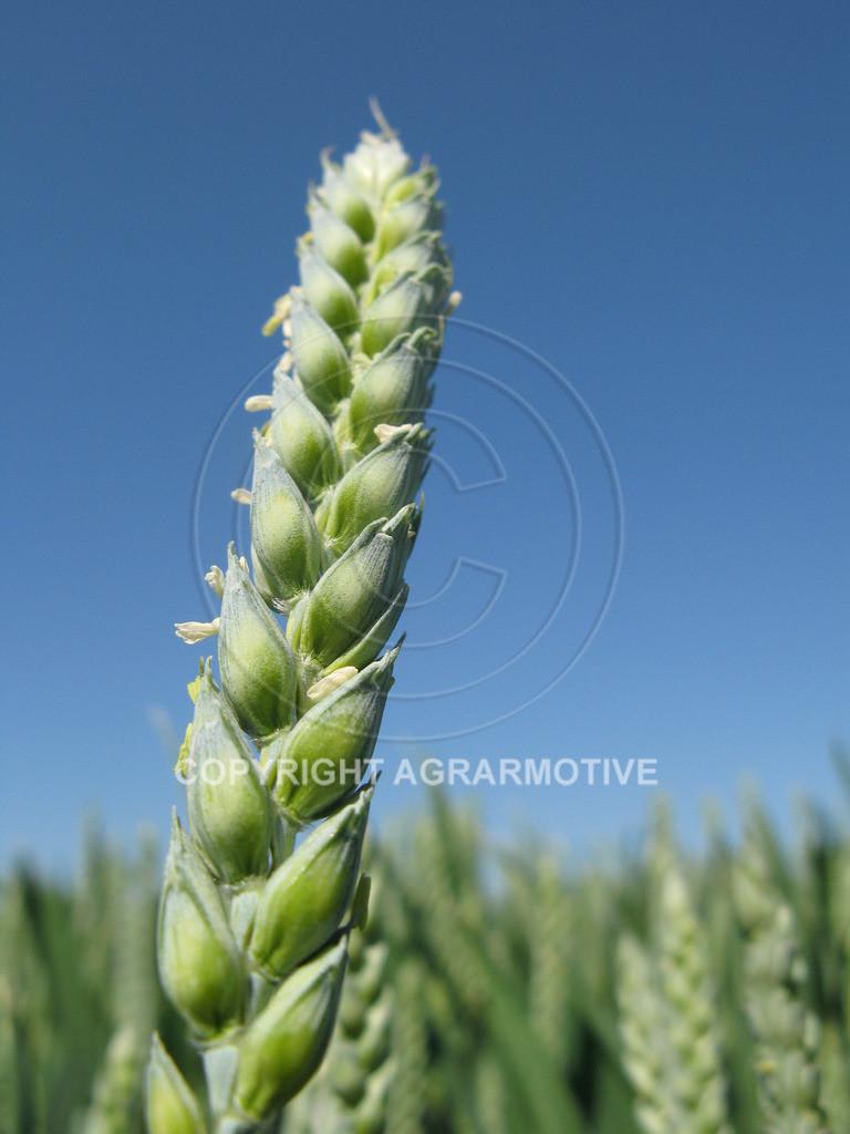 20090530-IMG_4087 | Weizenähren vor der Abreife - AGRARBILDER Bilder aus der Landwirtschaft
