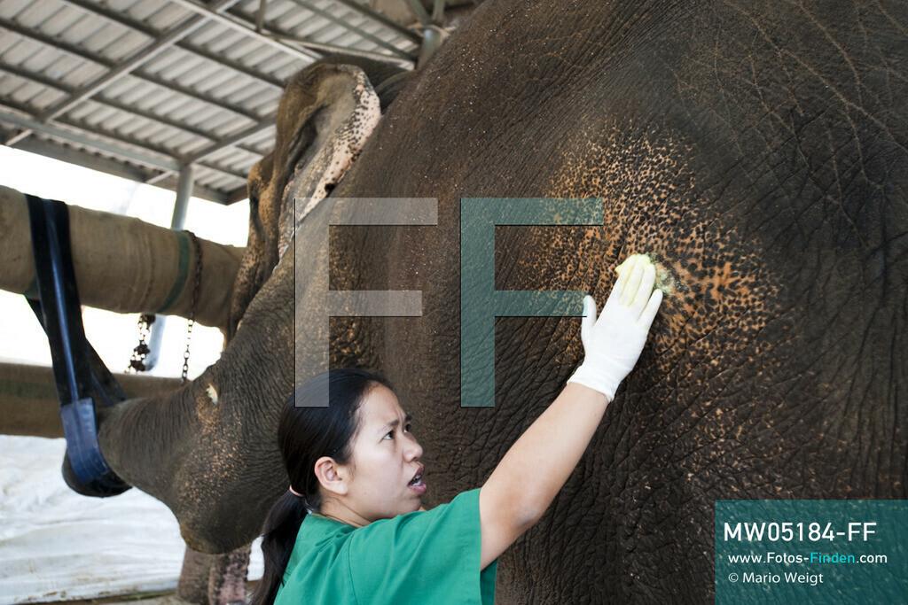 MW05184-FF   Thailand   Lampang   Reportage: Krankenhaus für Elefanten   Tierärztin Cruetong Kayan behandelt eine Wunde von Elefantenkuh Motala.  ** Feindaten bitte anfragen bei Mario Weigt Photography, info@asia-stories.com **