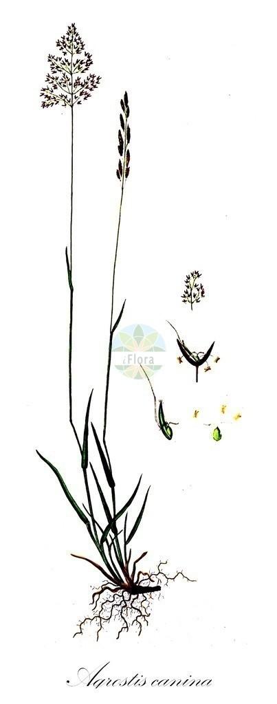 Historical drawing of Agrostis canina (Velvet Bent) | Historical drawing of Agrostis canina (Velvet Bent) showing leaf, flower, fruit, seed