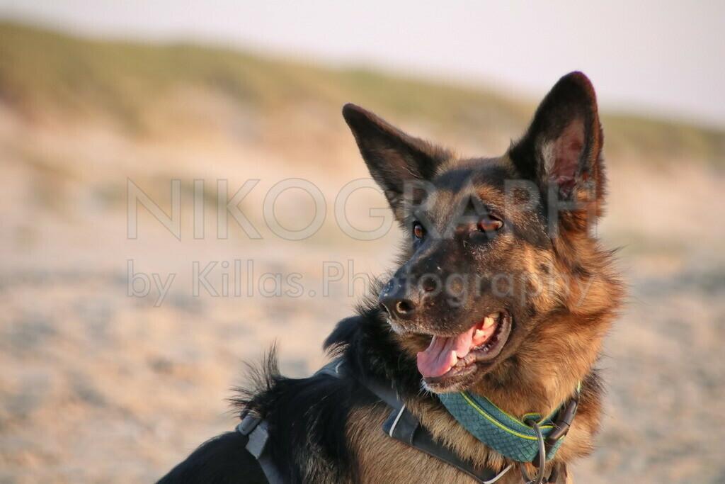 Schäferhund  | Schäferhund am Strand