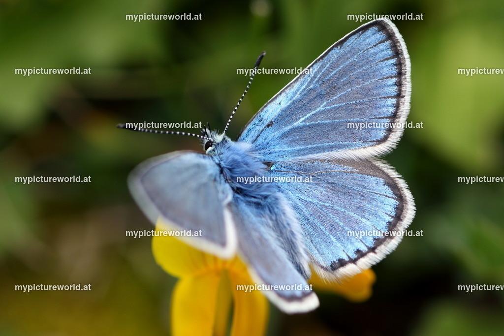 Polyommatus eros-010