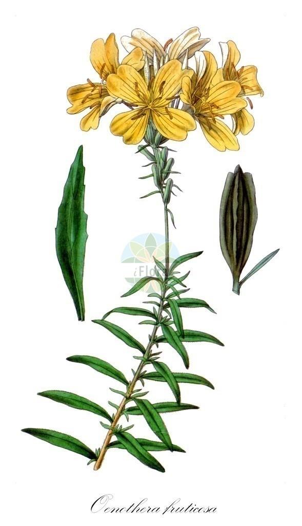 Historical drawing of Oenothera fruticosa (Evening-primroses) | Historical drawing of Oenothera fruticosa (Evening-primroses) showing leaf, flower, fruit, seed