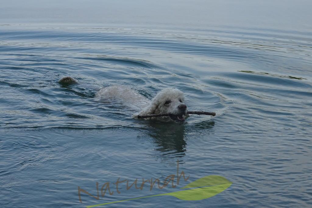 Seehund | Seehund: ein Königspudel im See.