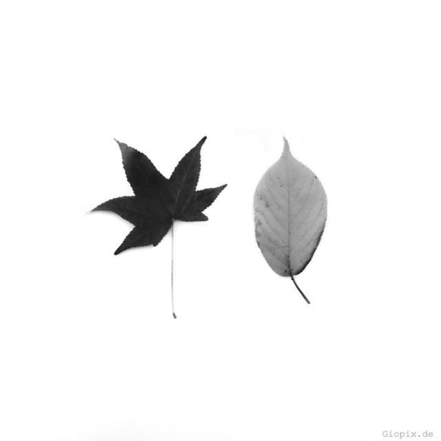 Ahorn und Wildkirche | Ahorn und Wildkirscheblatt in schwarz und weiß