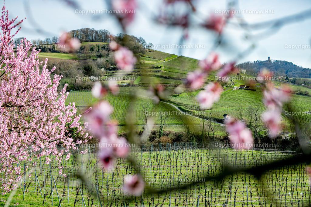 DSC_4785 | Bensheim, Weinberge zwischen Bensheim und Heppenheim, es ist die schönste Jahreszeit an der Bergstraße, die Mandelblüte verzaubert, die Weinberge laden zum bei warmen Tepmeraturen zum Spaziergang ein,  Bild: Thomas Neu