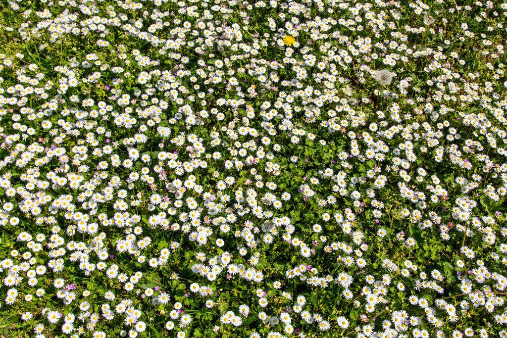 JT-160628-131 | Gänseblümchen, auf einer Wiese, Bellis perennis,