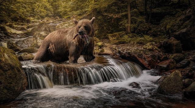 Grizzly Bär beim fischen