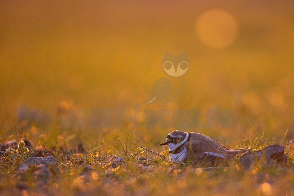 20170416064945 | Der Flussregenpfeifer ist eine Vogelart aus der Familie der Regenpfeifer. In Mitteleuropa ist der Flussregenpfeifer ein verbreiteter, aber wenig häufiger Brut- und Sommervogel. Während der Zugzeiten ist er verhältnismäßig häufig als Durchzügler und Rastvogel zu beobachten.
