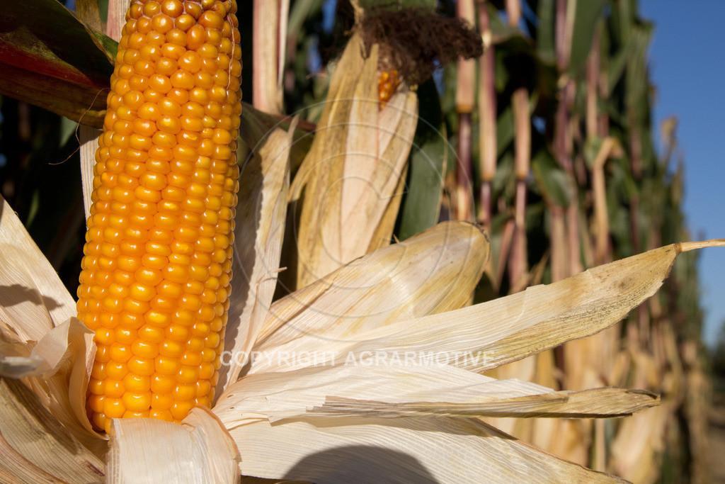 20110930-IMG_0096 | reife Maiskolben - AGRARMOTIVE Bildagentur