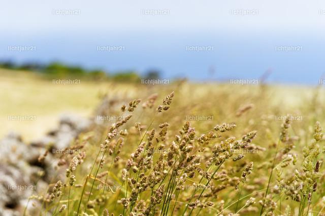 Grashalme am Wegesrand | Grashalme mit Blütenrispen in schmaler Schärfezone vor einer Wiesenlandschaft im Unschärfebereich, Küstenblick, Bildbelebung durch Steinmauer und grüne Hecke - Location: Portugal, Azoren, Insel Sao Jorge (São Jorge)