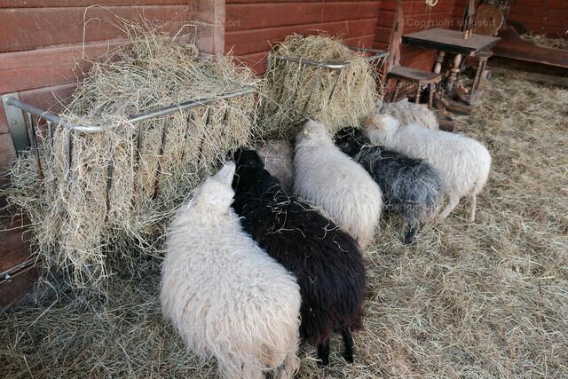 Schafe im Stall beim Fressen | Schafe beim Futtern von Stroh im Stall.
