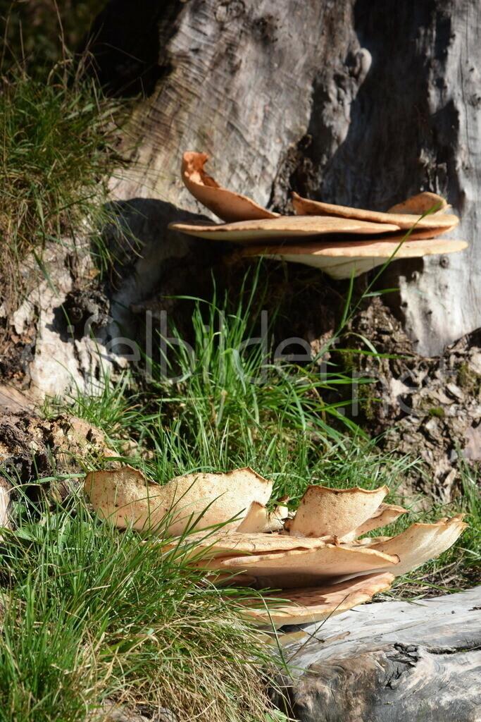Pilze an einem Baumstamm | fotografiert in der Vulkaneifel