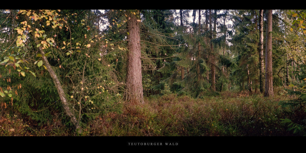Teutoburger Wald   Nadelwald mit Birken im Teutoburger Wald