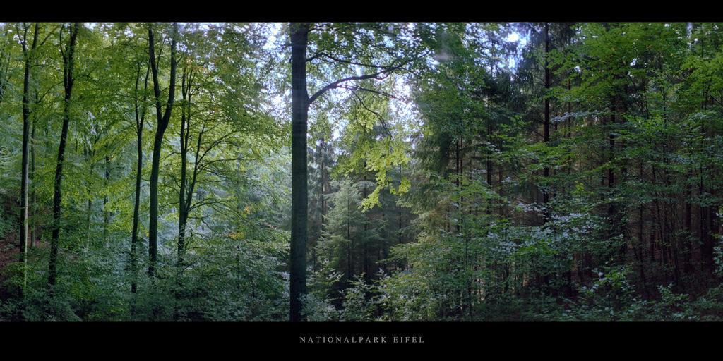 Nationalpark Eifel   Buchenwald mit Buchen im Nationalpark und Mittelgebirge Eifel