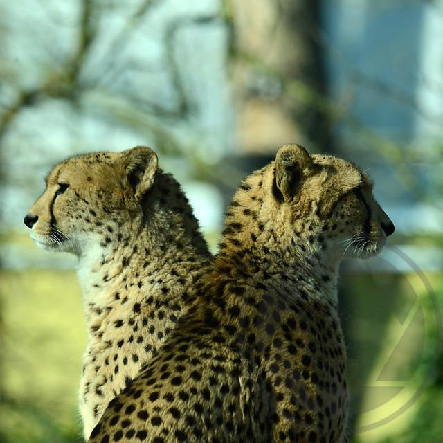 20180218-Koeln-Zoo-Gepard-112