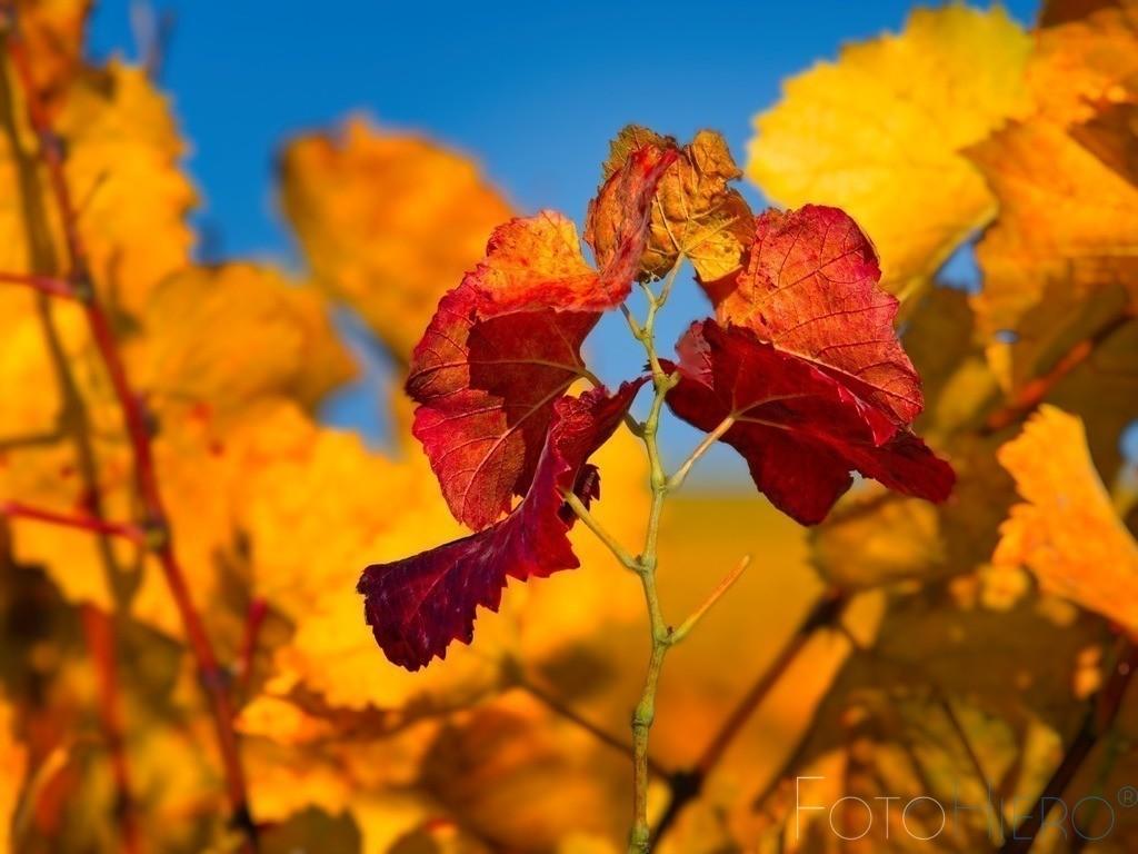 Rote Weinblätter | Herbstlich rote Weinblätter mit gelbgoldenen Weinblättern im Hintergrund