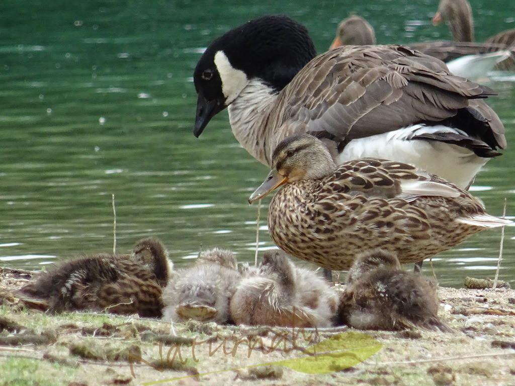 Das zarte Glück | Entenkinder mit Mutter und Beschützergans.