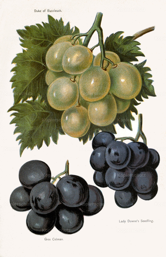 Fruit-Growers-Guide-1890-May-Rivers-Obst-Früchte (29)