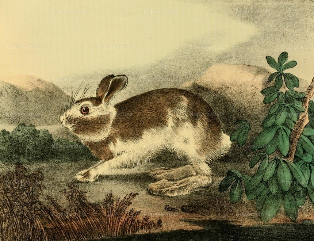 Doughty_ T. (1793-1856) - Cabinet of Natural History 1830 - Varying Hare