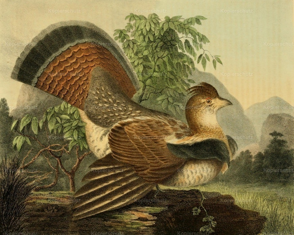 Doughty_ T. (1793-1856) - Cabinet of Natural History 1830 - Ruffed Grouse