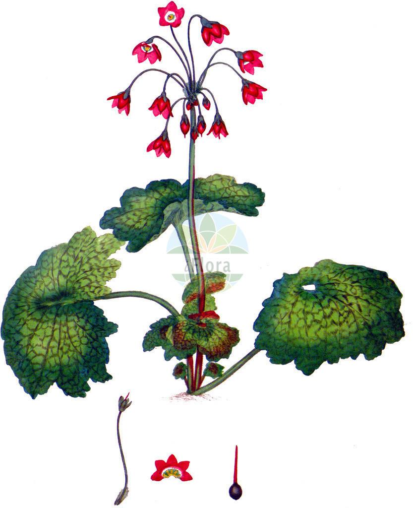 Primula matthioli | Historische Abbildung von Primula matthioli. Das Bild zeigt Blatt, Bluete, Frucht und Same. ---- Historical Drawing of Primula matthioli.The image is showing leaf, flower, fruit and seed.