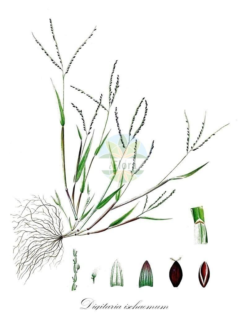 Historical drawing of Digitaria ischaemum (Smooth Finger-grass)   Historical drawing of Digitaria ischaemum (Smooth Finger-grass) showing leaf, flower, fruit, seed