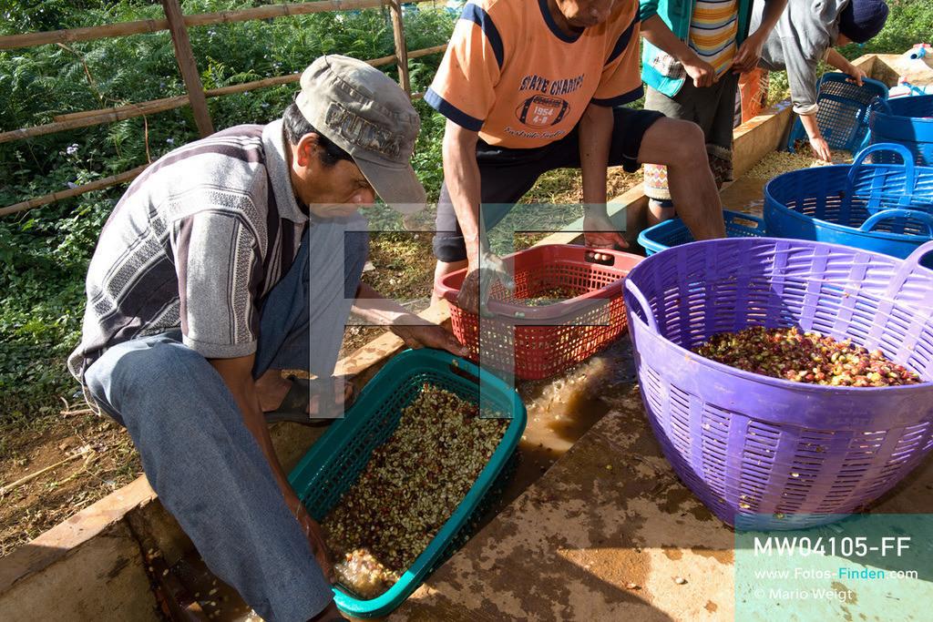MW04105-FF | Laos | Paksong | Reportage: Kaffeeproduktion in Laos | Mitarbeiter waschen die Kaffeebohnen mehrmals. In den Plantagen auf dem Bolaven-Plateau werden die Kaffeesorten Robusta und Arabica angebaut.  ** Feindaten bitte anfragen bei Mario Weigt Photography, info@asia-stories.com **