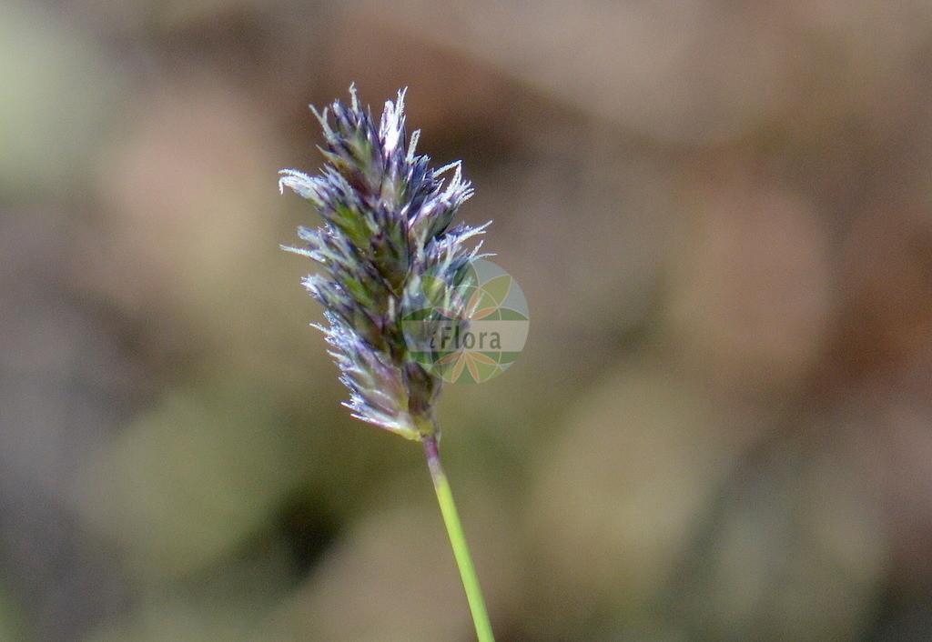Sesleria caerulea (Kalk-Blaugras - Blue Moor-grass) | Foto von Sesleria caerulea (Kalk-Blaugras - Blue Moor-grass). Das Foto wurde in Goettingen, Niedersachsen, Deutschland aufgenommen. ---- Photo of Sesleria caerulea (Kalk-Blaugras - Blue Moor-grass).The picture was taken in Goettingen, Lower Saxony, Germany.