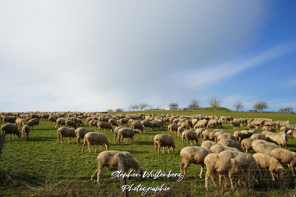 Novemberschafe | Schafherde beim Wasserhaus Höringen