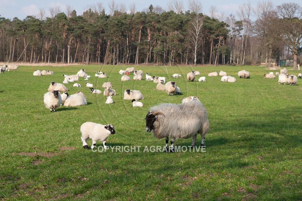250307-164723 | Schafherde auf der Weide - AGRARBILDER