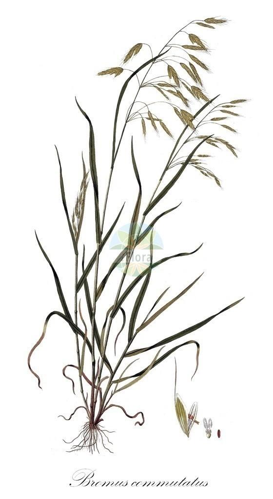 Historical drawing of Bromus commutatus (Meadow Brome)   Historical drawing of Bromus commutatus (Meadow Brome) showing leaf, flower, fruit, seed