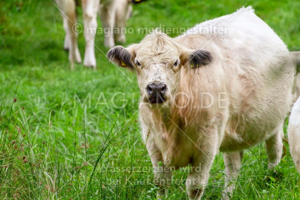 Kuh in der Martelfürth bei Eppenbrunn