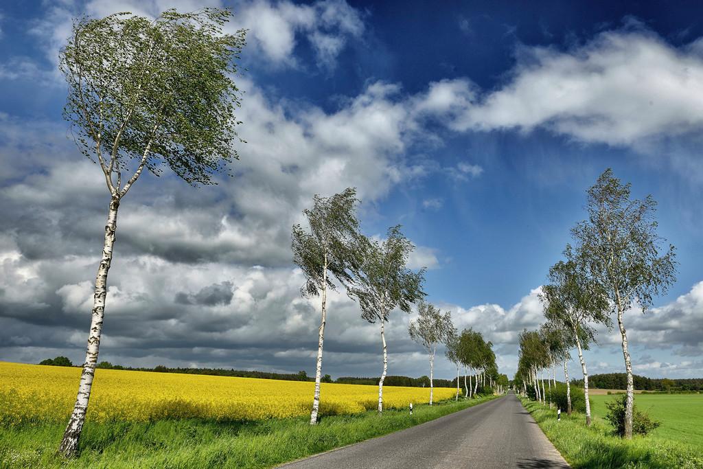 Birkenallee mit Rapsfeld | Landstrasse mit Birken und Rapsfeld