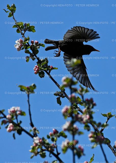 Ein Star im blühenden Apfelbaum - copyright by HEN-FOTO | Ein Star im blühenden Apfelbaum in den Streuobstwiesen Darmstadt-Eberstadt - copyright by HEN-FOTO Peter Henrich