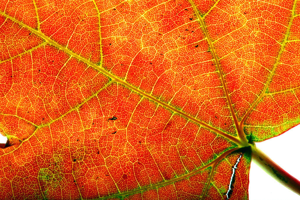 JT-120220-016 | Blatt des Liquidamber, Gattung der Amberbäume, (Liquidambar styraciflua), herbstliche Färbung,