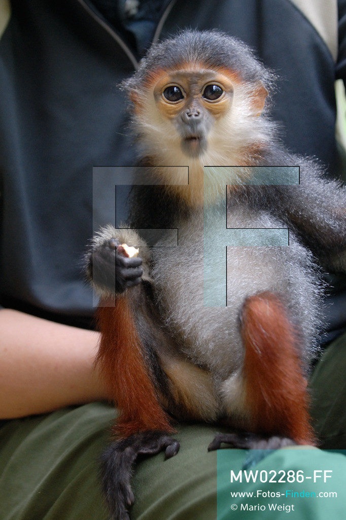 MW02286-FF | Vietnam | Provinz Ninh Binh | Reportage: Endangered Primate Rescue Center | Affenbaby (Rotgeschenkliger Kleideraffe) isst ein Stück Süsskartoffel. Der Deutsche Tilo Nadler leitet das Rettungszentrum für gefährdete Primaten im Cuc-Phuong-Nationalpark.   ** Feindaten bitte anfragen bei Mario Weigt Photography, info@asia-stories.com **