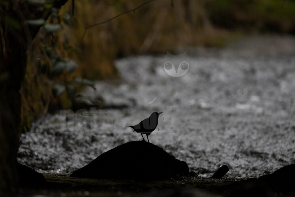 20200612-663A0003 (9) | Die Wasseramsel oder Eurasische Wasseramsel ist die einzige auch in Mitteleuropa vorkommende Vertreterin der Familie der Wasseramseln. Der etwa starengroße, rundlich wirkende Singvogel ist eng an das Leben entlang schnellfließender, klarer Gewässer gebunden.