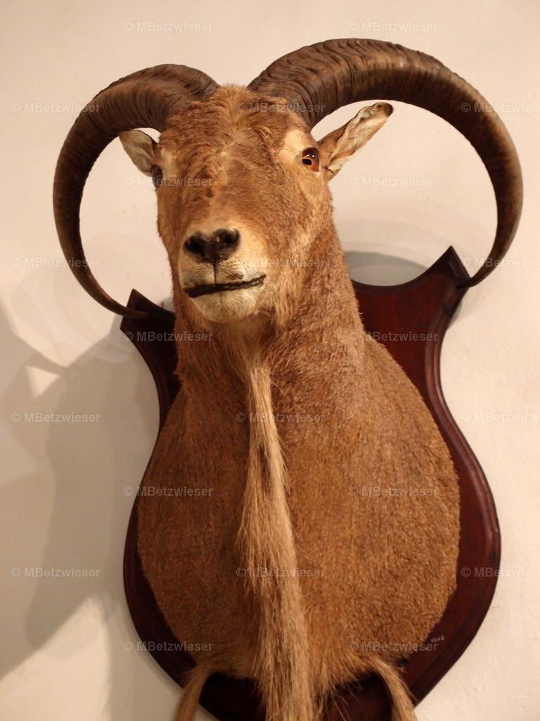 P5185879 | Mufflon, Möhnen Schaf oder Arruis als Präparat im Inselmuseum La Palma