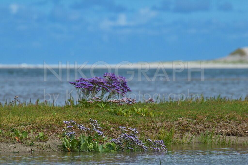 Strandflieder  | Strandflieder im Naturschutzgebiet De Slufter auf der Nordseeinsel Texel.