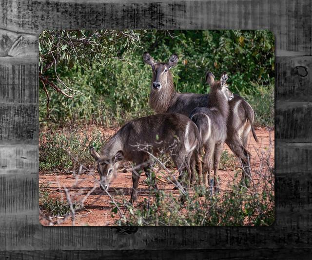 WASSERBOCK-FAMILIE | Kenia | Graubraun und zotteliges Fell, dazu eine weiße Elipse um den Schwanzansatz - das ist der (Ellipsen-)Wasserbock (waterbuck). Eine große Antilope, die bis zu 270 kg schwere werden kann.