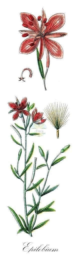 Historical drawing of Epilobium fleischeri (Alpine Fireweed)   Historical drawing of Epilobium fleischeri (Alpine Fireweed) showing leaf, flower, fruit, seed