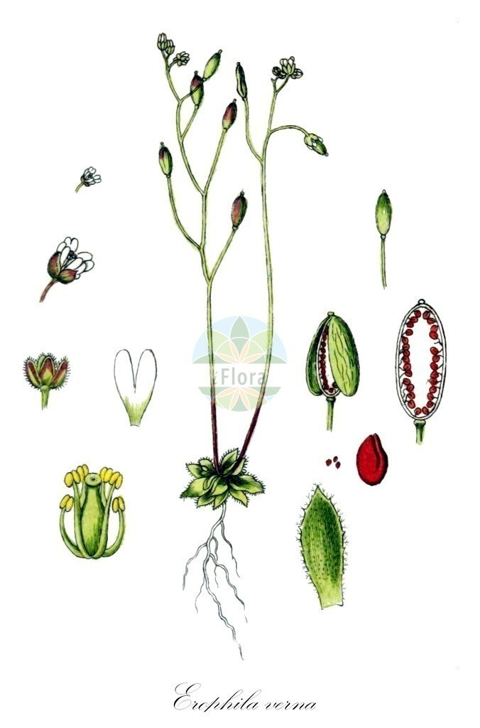 Historical drawing of Erophila verna (Common Whitlowgrass) | Historical drawing of Erophila verna (Common Whitlowgrass) showing leaf, flower, fruit, seed