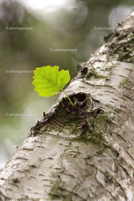Einzelnes Birkenblatt an Stamm | Nahaufnahme eines einzelnen Blattes an einer Birke bei Tageslicht vor einem hellen Hintergrund mit Fokus auf dem Blatt
